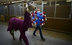 """Dressed as the COVID-19 virus, Arabelle Rohs, of Sherburne County, walked with her llama, """"Sherlock,"""" dressed as a doctor, before the start of the"""