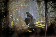 """In spring the male ruffed grouse proclaims his property rights by engaging in a """"drumming"""" display."""