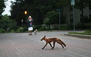 A trio of young foxes frolicked on Nicollet Island near downtown in 2018.