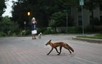 A fox crosses a Minneapolis street, in front of a woman on a walk with her dog Wednesday, June 27, 2018, in Minneapolis, MN.]  DAVID JOLES • david