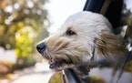 Some dogs just want to take trips with their head out the window.