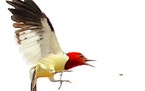 This red-headed woodpecker has its tail flared to slow flight as it zeros in on insect capture.