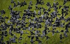 Red-winged blackbirds flew in a tight flock on the backwaters of the Minnesota River, seen from the Old Cedar Avenue Bridge in Bloomington.