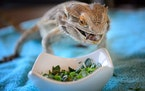 Trooper, a bearded dragon devoured a meal of super worms, chopped collard greens and arugula. ] GLEN STUBBE * gstubbe@startribune.com Wednesday, March