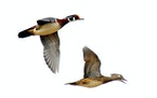 Wood ducks are among migrant birds to look for this fall.