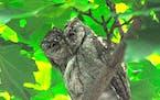 Adult screech owl.