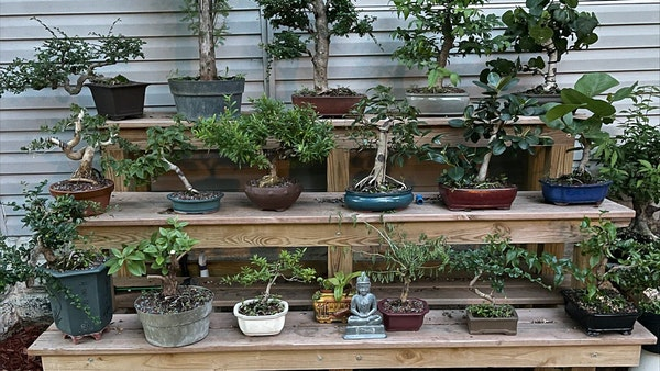 Security camera shows thieves taking bonsai trees from a home in St. Paul