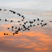 A flock of geese at sunset.