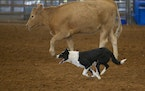 Humans selected dogs that performed specific tasks, such as herding.