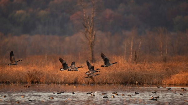Waterfowl, game birds have proven adaptable, but how much can they take?