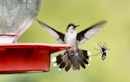 A hummingbird and hornet compete for nectar.