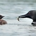 The common loon, nests and raises young on many Minnesota lakes. Their nests can be impacted by the large waves of wakeboats, the writer says.
