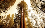 Sequoia trees stand in Lost Grove along Generals Highway as the KNP Complex Fire burns about 15 miles away on Friday, Sept. 17, 2021, in Sequoia Natio