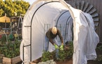High tunnel systems with hoops and row covers work well on garden beds filled with large plants, allowing easy access for harvesting while protecting
