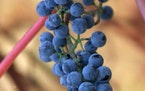 Minnesota wild-growing grape, found growing wild in the forest and along roadways. It is native to most of the United States.