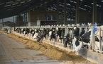 Holstein dairy cows feed on silage in a large free-stall farm barn in Devon, England. Agribusiness giant Cargill is experimenting with masks to reduce