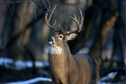 DNR has spent $14 million in tax dollars to combat the spread of chronic wasting disease among wild deer. The agency's biologists have linked some o