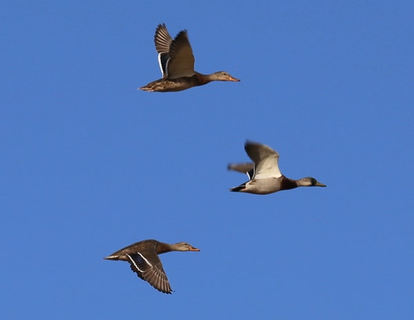 Ducks seen on the opening weekend for non-resident North Dakota hunters included drake mallards, like these, as well as pintails, gadwall and wigeon.