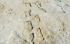 A photo provided by David Bustos of fossil footprints at White Sands National Park in New Mexico. Human footprints found in New Mexico are about 23,00