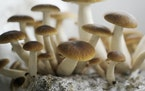Above, black pearl mushrooms in a grow room