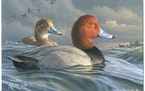 Chaska's Jim Hautman won this year's competition for the 2022-2023 Federal Duck Stamp with this acrylic painting of a pair of redheads afloat in h