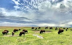 File photo by Brian Peterson • brian.peterson@startribune.com Bison were hunted almost to extinction in the late 1800s. This herd at Blue Mounds Sta