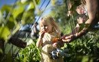 Jennifer Larson's daughter Lillian, 2, ate a tomato in the Perspectives' Supportive Housing vegetable garden in St. Louis Park, Minn., on Wednesda