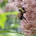 A rusty patched bumblebee on Joe Pye weed. Pictures are from Susan Damon's pollinator friendly bee garden in St. Paul, Minn., all photographed throu