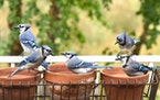 Blue jays crowd a makeshift feeder.