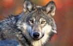 A judge on Friday halted Wisconsin's fall wolf season two weeks before hunters were set to take to the woods.