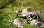 A group of caribou, also known as reindeer, graze in their enclosure Tuesday at the Minnesota Zoo in Apple Valley, Minn. GLEN STUBBE • glen.stubbe@s